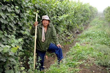 Un viticulteur chinois de la province de Xinjiang, en Chine. Les producteurs de vin chinois s'estiment lésés par les importations européennes, lesquelles bénéficient de subventions. © P. BOURGAULT