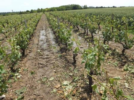 Les vignes de l'AOC Vouvray, comme ici à Rochecorbon (Indre-et-Loire), ont été fortement endommagées par un orage de grêle le 17 juin. © I. PROUST