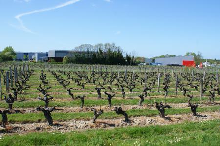 Au sud d'Angers, ces vignes sont désormais protégées d'une éventuelle extension de la zone artisanale. ©P.TOUCHAIS