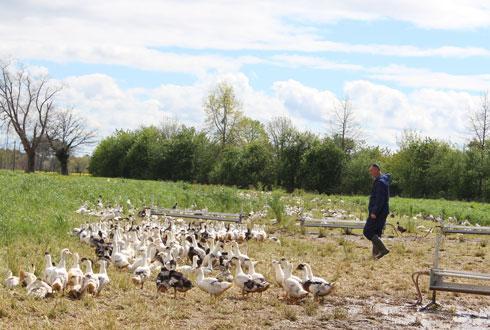 Trente éleveurs du Sud-Ouest vont produire 4 200 canards gras label rouge par semaine, pour Maison Montfort, filiale du groupe Euralis. © EURALIS